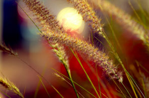 In His Image - wheat grass